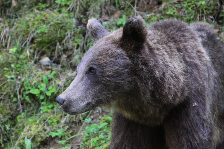 Bear in Carpathian mountains