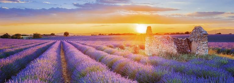 Beautiful lavender fields in the Provence